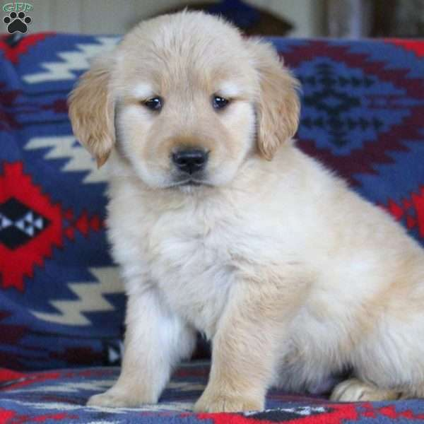 Gabriel, Golden Retriever Puppy