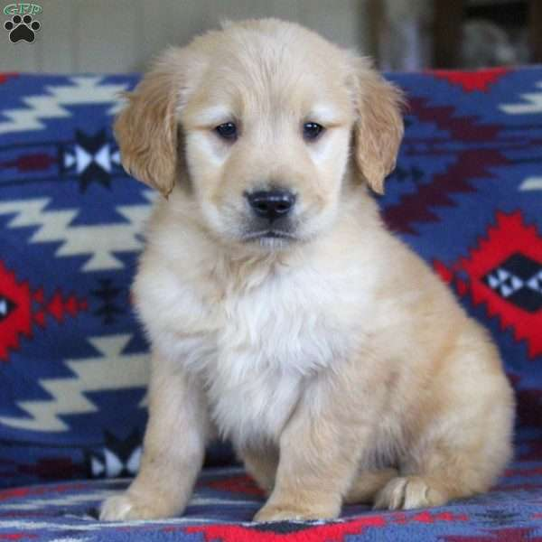 Gage, Golden Retriever Puppy