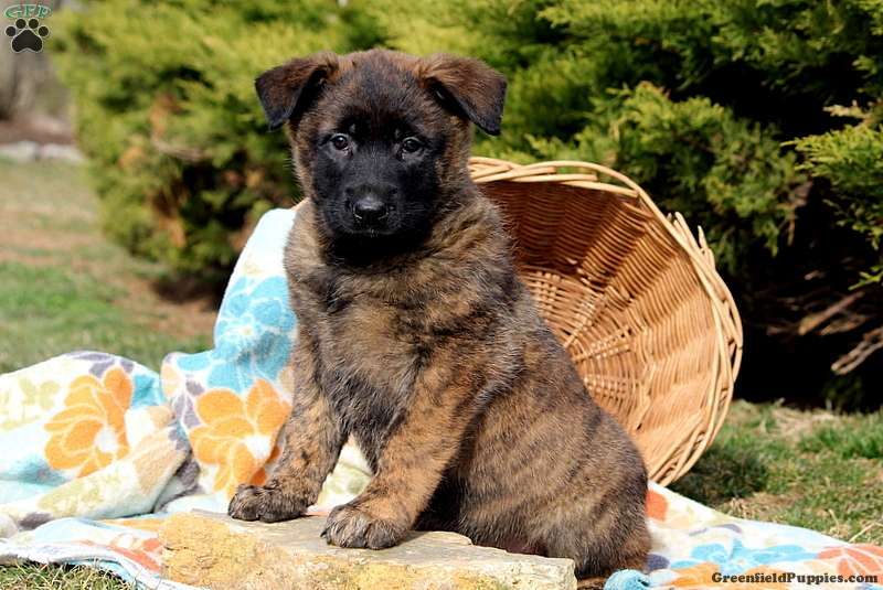 Belgian Malinois Mix Puppy For Sale In Pennsylvania