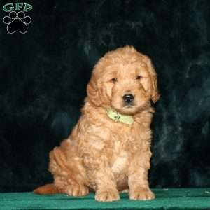 Gus, Mini Goldendoodle Puppy