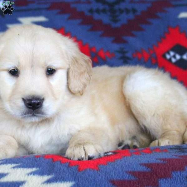 Gus, Golden Retriever Puppy