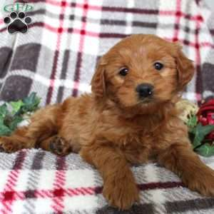 Heather, Mini Goldendoodle Puppy