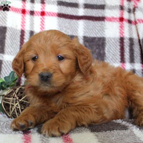 Helena, Mini Goldendoodle Puppy