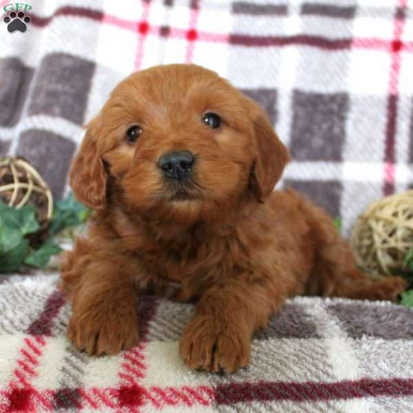 Hippy, Mini Goldendoodle Puppy