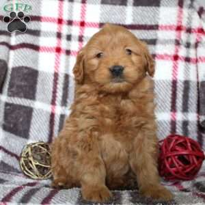 Hopscotch, Mini Goldendoodle Puppy
