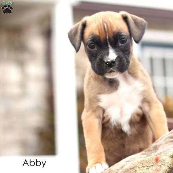 Abby, Boxer Puppy