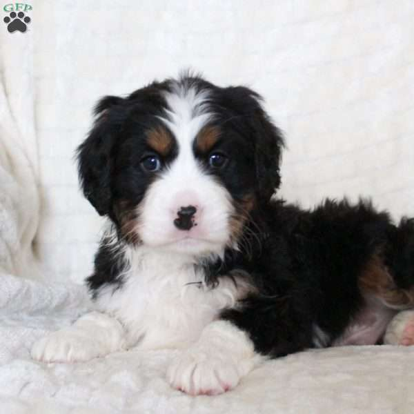 Isaac Miniature Bernese Mountain Dog Puppy For Sale In