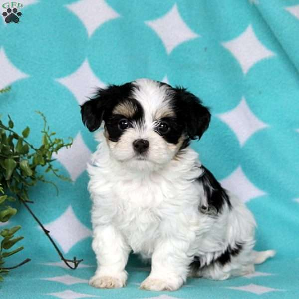 Jane, Havanese Puppy