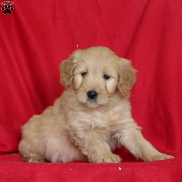 Jazmin, Mini Goldendoodle Puppy