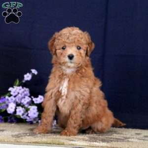 Jenna, Mini Goldendoodle Puppy