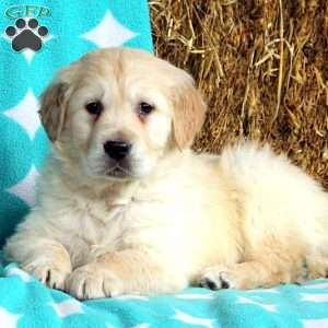 Jericho, Golden Retriever Puppy