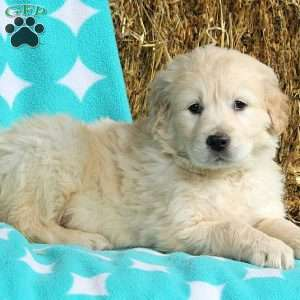 Jewels, Golden Retriever Puppy