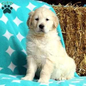 Jill, Golden Retriever Puppy