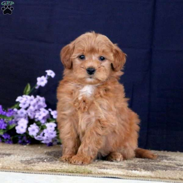 Joy, Mini Goldendoodle Puppy