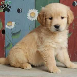 Kari, Golden Retriever Puppy