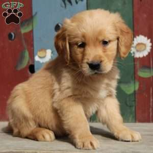 Karl, Golden Retriever Puppy
