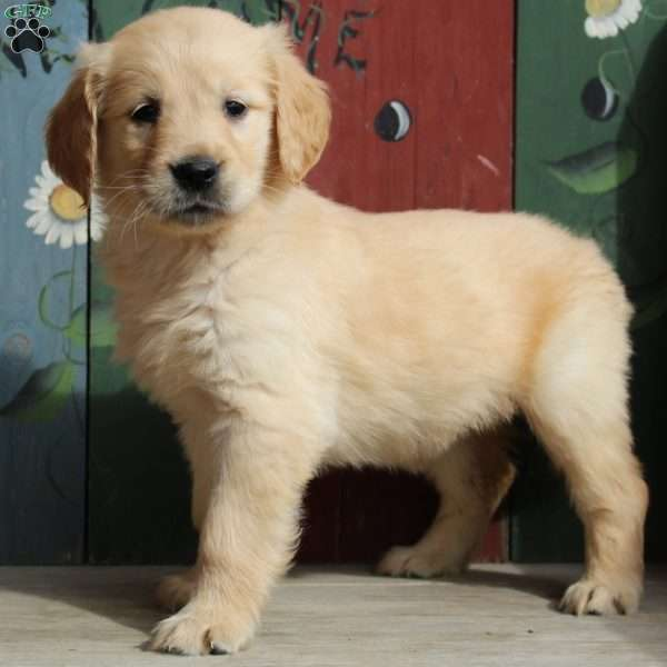 Kayla, Golden Retriever Puppy