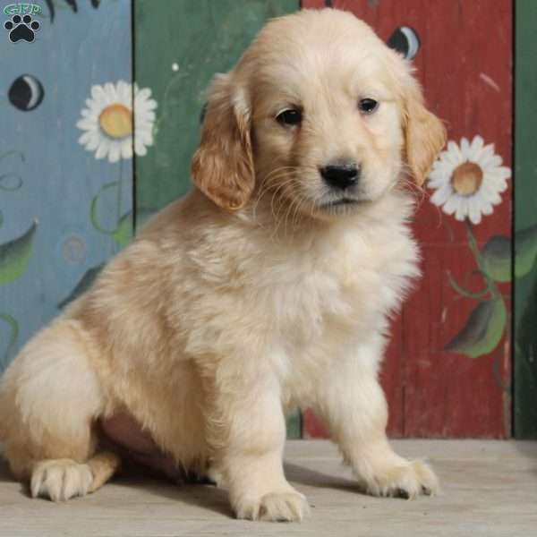 Keith, Golden Retriever Puppy
