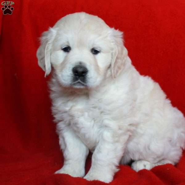 Kendra, English Cream Golden Retriever Puppy