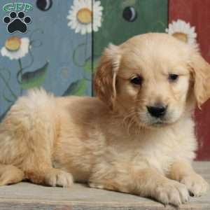 Kevin, Golden Retriever Puppy