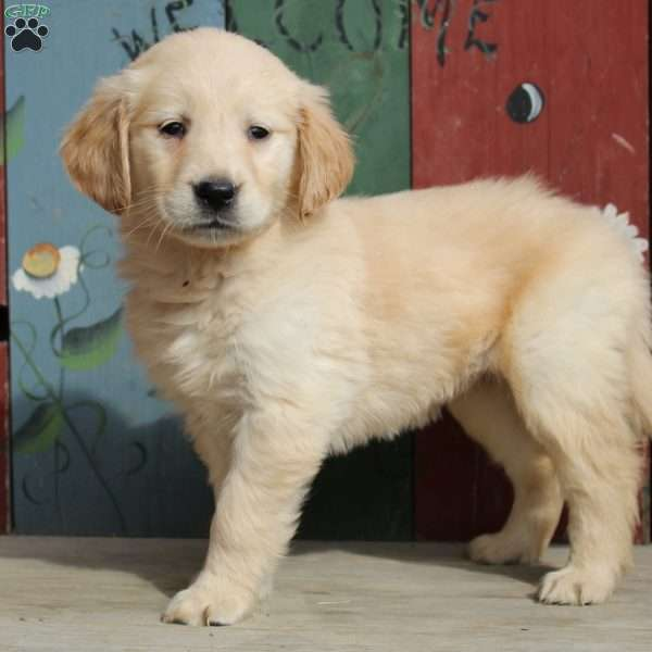 Kip, Golden Retriever Puppy