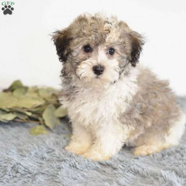 Lilly, Havanese Puppy