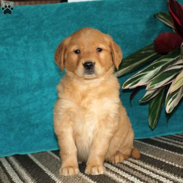 Naomi, Golden Retriever Puppy