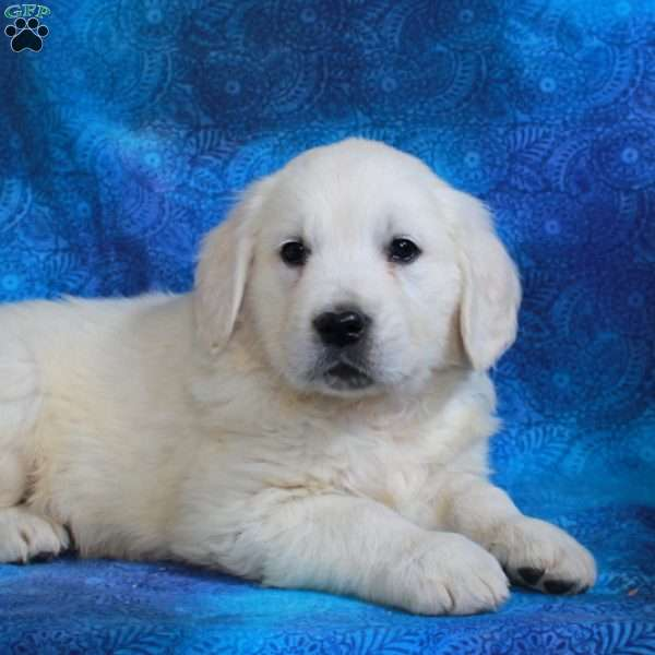 Natalie, English Cream Golden Retriever Puppy
