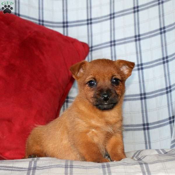 Nathan, Cairn Terrier Puppy