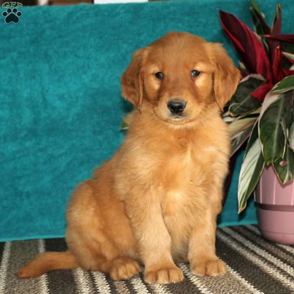 Neal, Golden Retriever Puppy