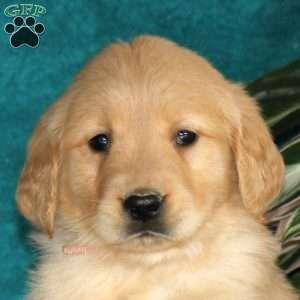 Ned, Golden Retriever Puppy