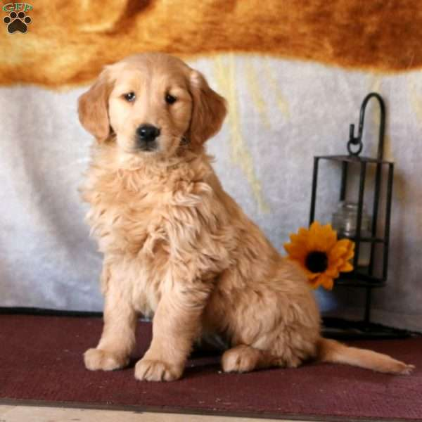 Neva, Golden Retriever Puppy