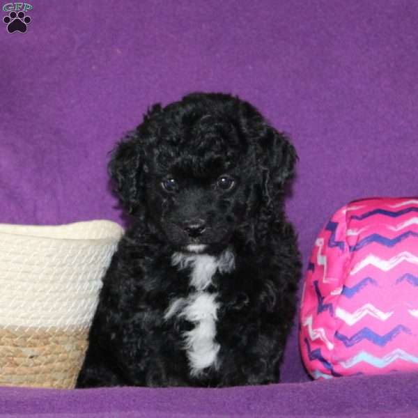 Pansy, Mini Goldendoodle Puppy