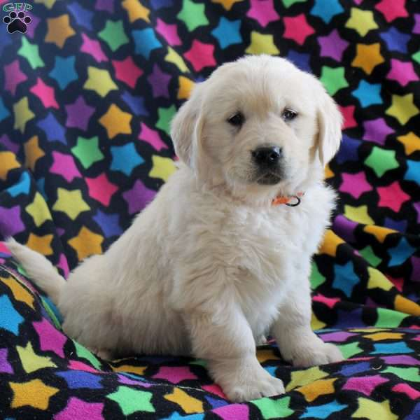 Paula, English Cream Golden Retriever Puppy