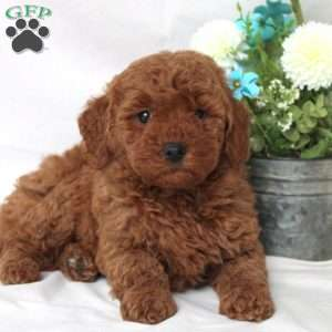 Portia, Mini Goldendoodle Puppy