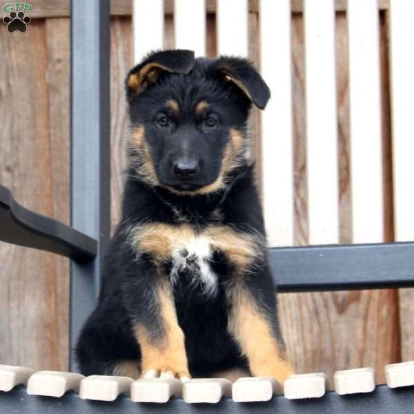 Ranae, German Shepherd Puppy