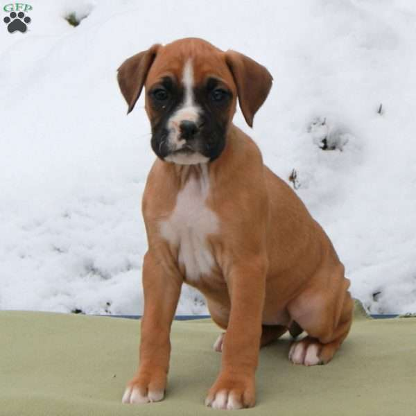 River, Boxer Puppy