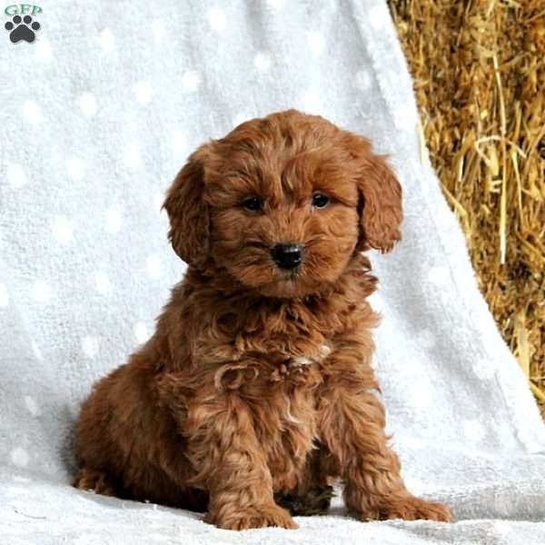 Ronnie, Mini Goldendoodle Puppy