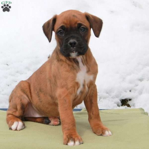 Ruby, Boxer Puppy