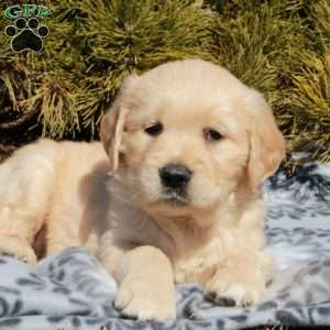 Ryker, Golden Retriever Puppy
