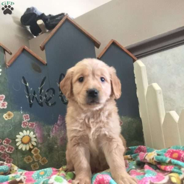Scooby, Golden Retriever Puppy