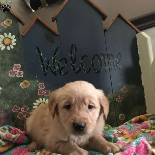 Scout, Golden Retriever Puppy