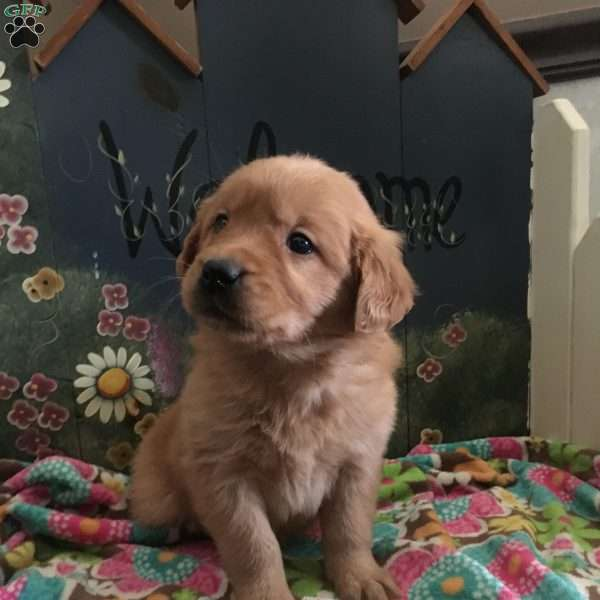 Simon, Golden Retriever Puppy