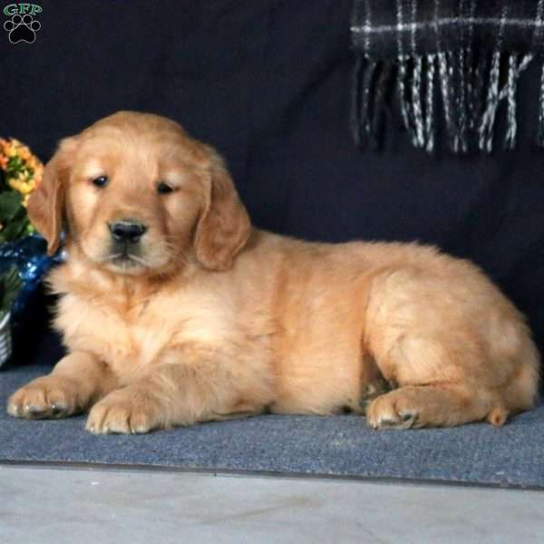 Sonny, Golden Retriever Puppy