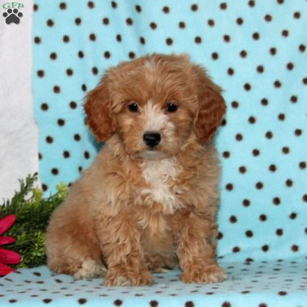 Sparkles, Shih-Poo Puppy