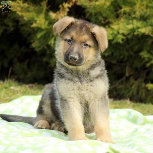 Tangerine, German Shepherd Puppy
