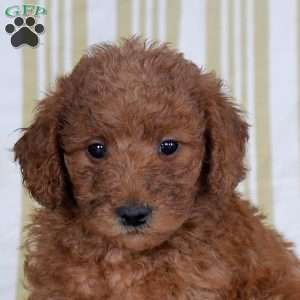 Ted, Mini Goldendoodle Puppy