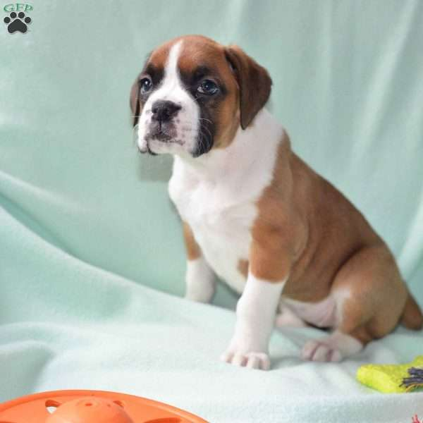 Ticker, Boxer Puppy