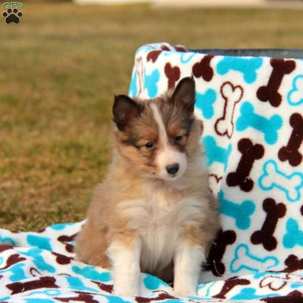 Toby, Sheltie Puppy