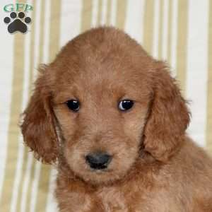 Tonya, Mini Goldendoodle Puppy